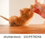 Stock photo an orange tabby kitten drinking from a bottle of kitten milk replacer with his belly down on the 1019578246