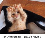 Stock photo an orange tabby kitten lays on his back with his paws in the air looking at the camera so cute 1019578258