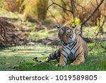 wild tigress from  national... | Shutterstock . vector #1019589805