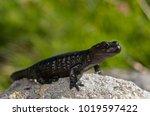 Small photo of Salamandra lanzai (lanza's alpine salamander)