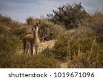 young wild guanaco  patagonia ... | Shutterstock . vector #1019671096