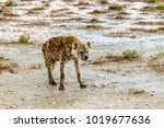 spottet hyena  crocuta crocuta  ... | Shutterstock . vector #1019677636