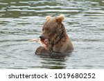 a brown or grizzly bear in the... | Shutterstock . vector #1019680252