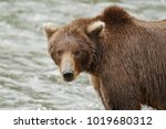 a brown or grizzly bear in the... | Shutterstock . vector #1019680312