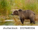 a brown or grizzly bear in the... | Shutterstock . vector #1019680336