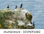 Pelagic Cormorants And Red...
