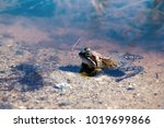common frog  brown frog  rana... | Shutterstock . vector #1019699866