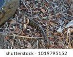wild lizard eastern blue tongue ...   Shutterstock . vector #1019795152