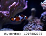 mr. clownfish   the most... | Shutterstock . vector #1019802376