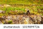 baboons at lisbon falls near... | Shutterstock . vector #1019899726