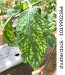 Small photo of Leaf tomato deficiency nutrient.