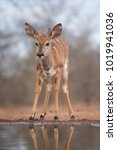 Small photo of A vertical, colour image of a young Nyala, Tragelaphus angasii, with tiny horns drinking at a pool in Karongwe Game Reserve, South Africa.