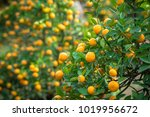kumquat tree. together with... | Shutterstock . vector #1019956672