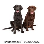 Two Labrador Retriever Dogs...