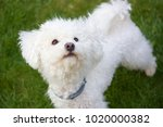 beautiful bolognese dog in the... | Shutterstock . vector #1020000382