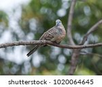 geopelia striata bird | Shutterstock . vector #1020064645