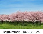 cherry blossom and blue sky in... | Shutterstock . vector #1020123226