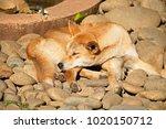 Sleeping Australian Dingo