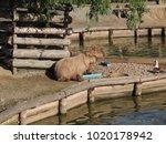 capybara hydrochoerus...   Shutterstock . vector #1020178942