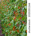 Small photo of Abundant red blossom on a row of runner bean plants. Shallow depth of field.