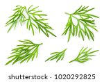Dill. Fresh Dill Herb Isolated...