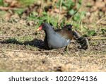 The Common Moorhen Is A Bird...