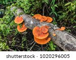 orange mushrooms on dry wood... | Shutterstock . vector #1020296005