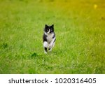 Stock photo cute young cat running fun through a green juicy meadow in spring on a sunny day 1020316405