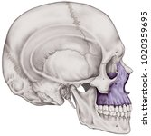 the maxilla bone of the cranium ... | Shutterstock . vector #1020359695