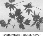 anemone flower branch....   Shutterstock . vector #1020374392