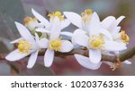 white flowers on the tree in... | Shutterstock . vector #1020376336