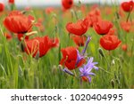 spring field of poppies and a... | Shutterstock . vector #1020404995