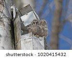 Young Ural Owls  Strix...