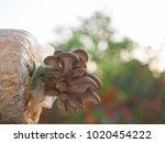closeup fresh oyster mushroom ...   Shutterstock . vector #1020454222
