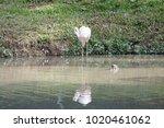 pink big bird greater flamingo  ...   Shutterstock . vector #1020461062