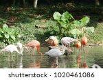 pink big bird greater flamingo  ...   Shutterstock . vector #1020461086
