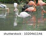 pink big bird greater flamingo  ...   Shutterstock . vector #1020461146