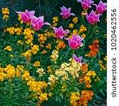 erysimum cheiri with tulipa in... | Shutterstock . vector #1020462556