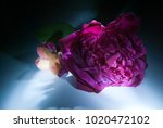 rose  symbol of love  sweet... | Shutterstock . vector #1020472102