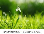 single isolated early spring... | Shutterstock . vector #1020484738