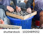 Small photo of Mud clam or mangrove clam, farmed clams