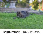 cat and dead rat on a green...   Shutterstock . vector #1020493546