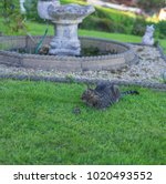 cat and dead rat on a green...   Shutterstock . vector #1020493552