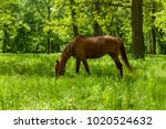 Horse In Spring Pasture. The...