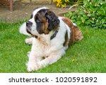 gracie  our senior saint... | Shutterstock . vector #1020591892