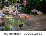 chilean flamingos in bird park... | Shutterstock . vector #1020612982
