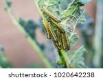 The caterpillar larvae of the...