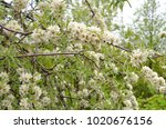 apple tree closeup with white... | Shutterstock . vector #1020676156