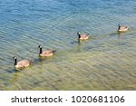 Our Geese In A Row  Swimming I...