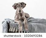 Stock photo puppy great dane laying on blanket in studio 1020693286